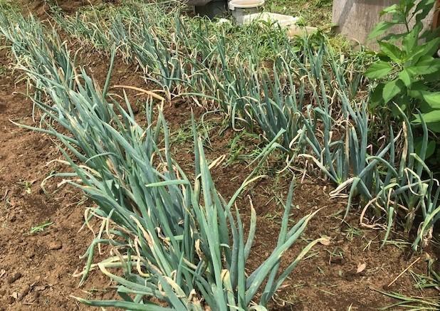 オクラ初収穫、雑草取りで汗まみれ6・27_c0014967_09054084.jpg