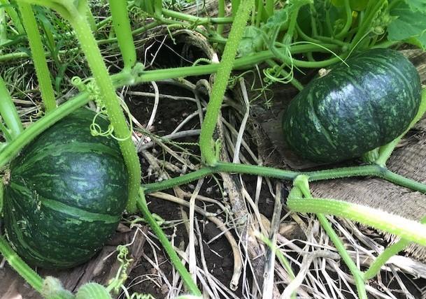 オクラ初収穫、雑草取りで汗まみれ6・27_c0014967_09082753.jpg