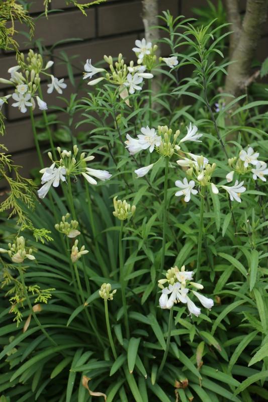 梅雨の晴間に初夏の花~ ジニアとアガパンサス_a0123003_15185632.jpg