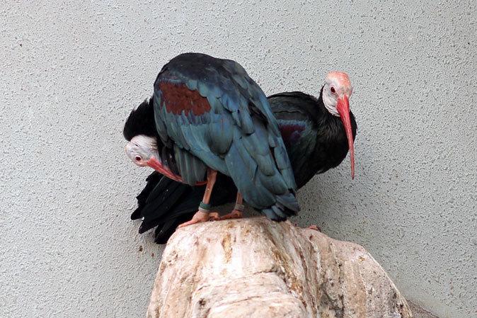 上野動物園バードハウス大図鑑⑨~2F:国内唯一のハゲトキとアフリカの美しい鳥たち_b0355317_20470568.jpg