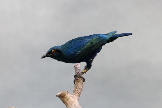 上野動物園バードハウス大図鑑⑨~2F:国内唯一のハゲトキとアフリカの美しい鳥たち_b0355317_21121618.jpg
