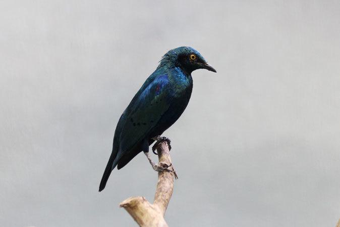 上野動物園バードハウス大図鑑⑨~2F:国内唯一のハゲトキとアフリカの美しい鳥たち_b0355317_21162215.jpg