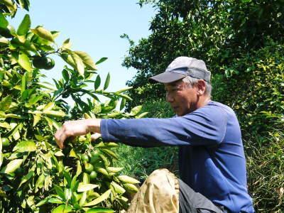 ザ・みかん 着果後の様子(2020) 雑草を生やし水も十分に与えて育て摘果作業で仕上げる匠のみかん_a0254656_18205828.jpg