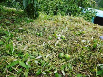 ザ・みかん 着果後の様子(2020) 雑草を生やし水も十分に与えて育て摘果作業で仕上げる匠のみかん_a0254656_18224314.jpg