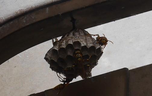 ガレージのアシナガバチの巣、慎重に駆除6・29_c0014967_18423595.jpg