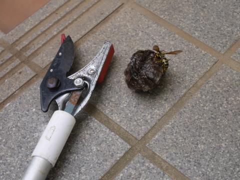 ガレージのアシナガバチの巣、慎重に駆除6・29_c0014967_18463885.jpg