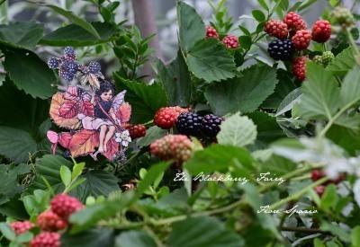 The Blackberry Fairy_a0252678_08530225.jpg