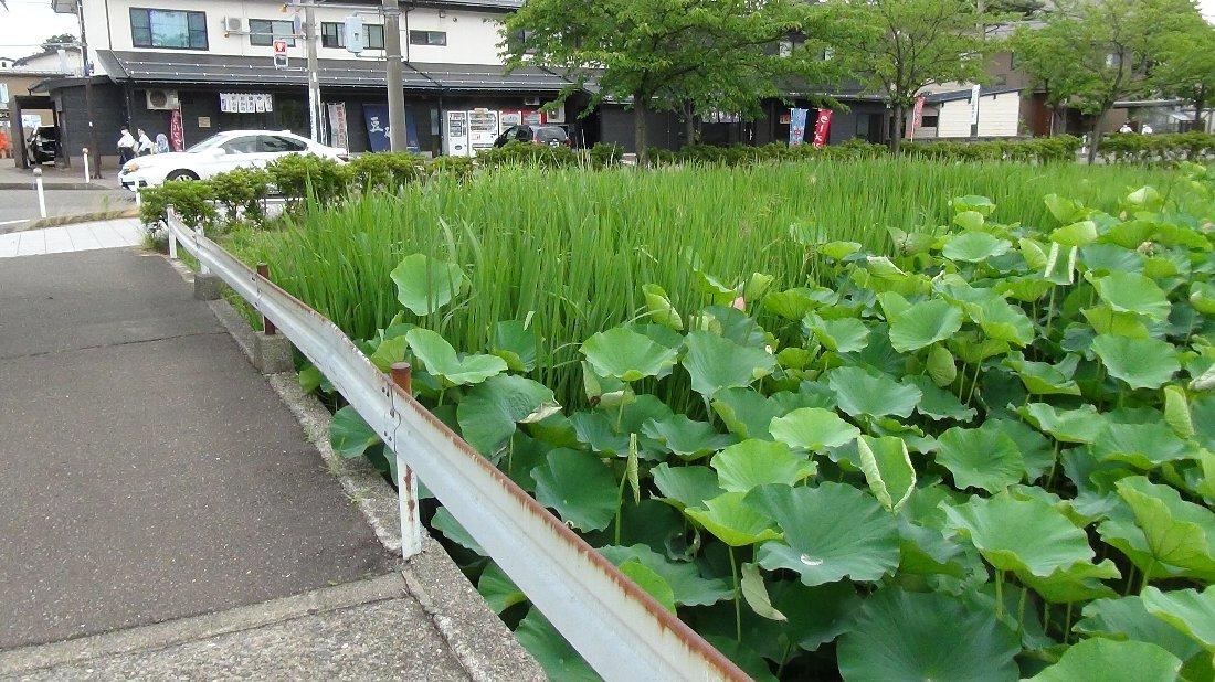 高田城址公園のハス!_e0065084_1756575.jpg