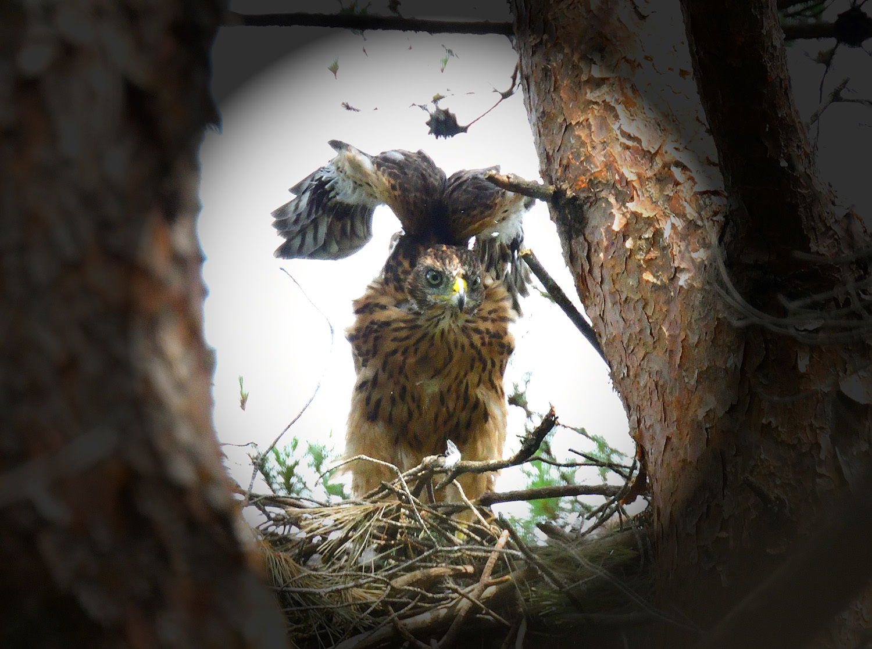 オオタカの幼鳥!?_e0362696_17005314.jpg