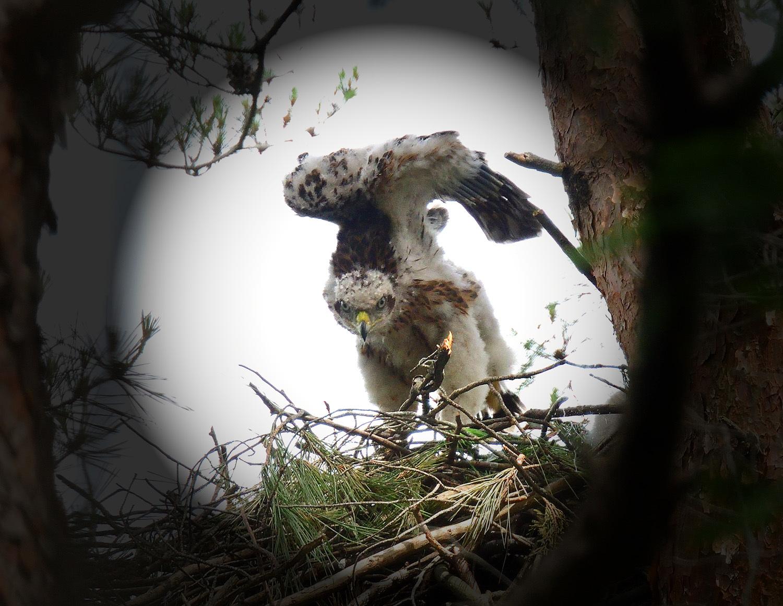 オオタカの幼鳥!?_e0362696_17005652.jpg