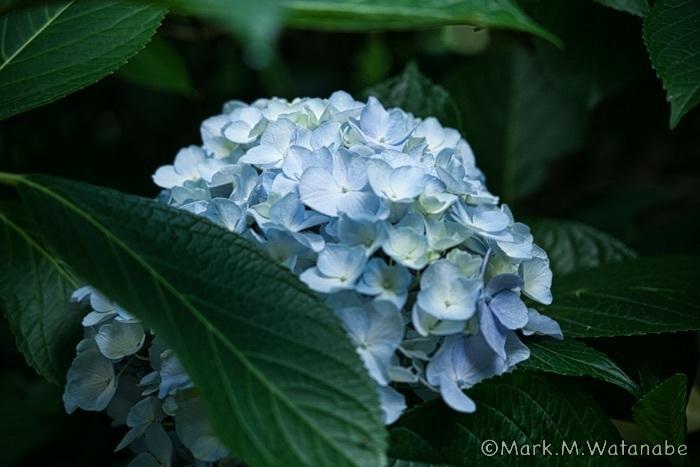 高山アジサイ園-3_e0135098_22474945.jpg