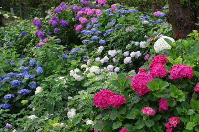 もう一つの紫陽花の名所へ_b0356401_17042518.jpg