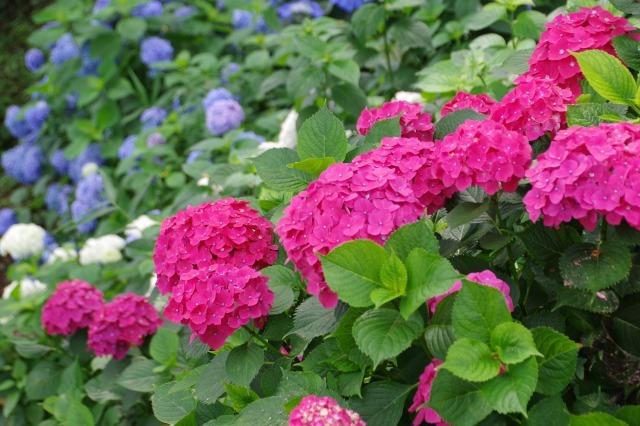 もう一つの紫陽花の名所へ_b0356401_17042898.jpg