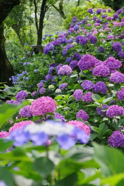 もう一つの紫陽花の名所へ_b0356401_17043257.jpg