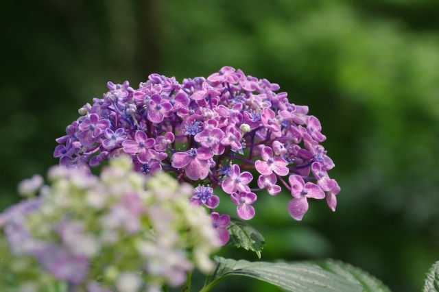 もう一つの紫陽花の名所へ_b0356401_17043778.jpg