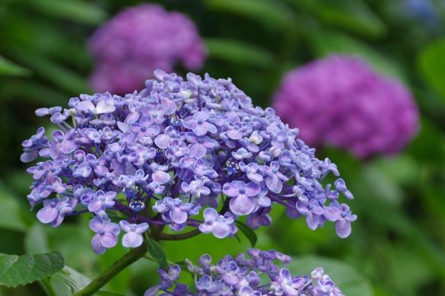 もう一つの紫陽花の名所へ_b0356401_17043954.jpg