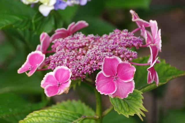 もう一つの紫陽花の名所へ_b0356401_17044170.jpg