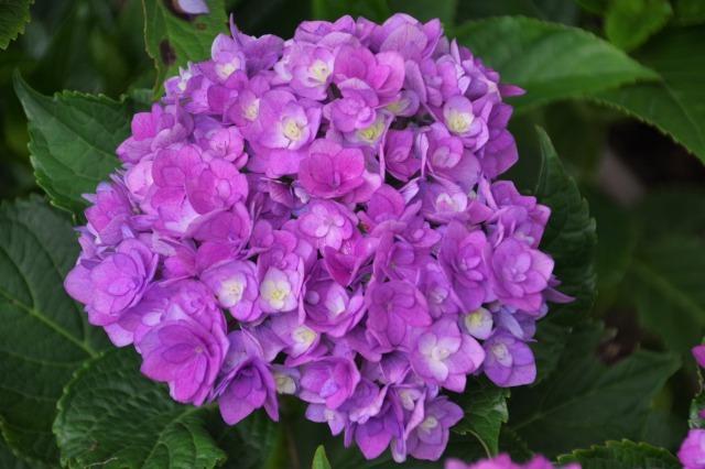 もう一つの紫陽花の名所へ_b0356401_17044358.jpg