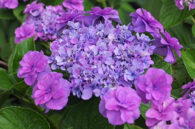 もう一つの紫陽花の名所へ_b0356401_17044810.jpg