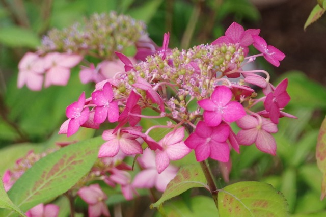 もう一つの紫陽花の名所へ_b0356401_17045115.jpg