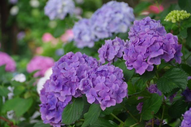 もう一つの紫陽花の名所へ_b0356401_17045689.jpg
