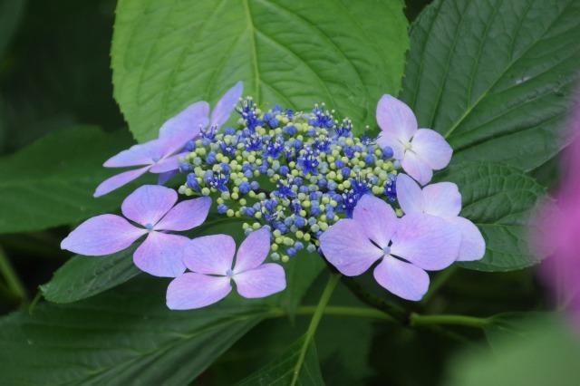 もう一つの紫陽花の名所へ_b0356401_17045961.jpg