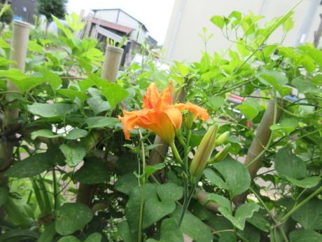 合歓咲く・紫陽花園 ほか_a0203003_11310841.jpg