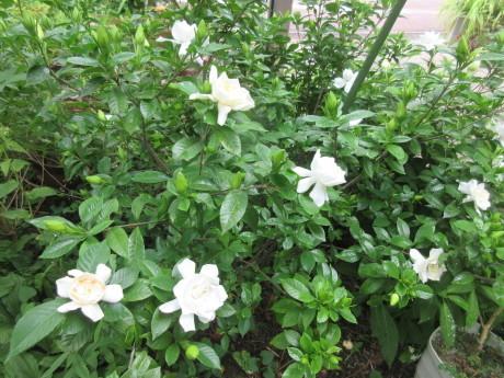 合歓咲く・紫陽花園 ほか_a0203003_11312483.jpg