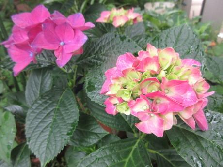 合歓咲く・紫陽花園 ほか_a0203003_11320186.jpg