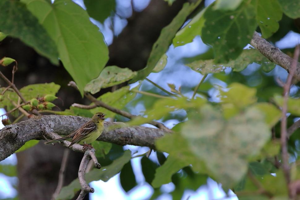 鳥の成木①【ノジコ・ウグイス・サンコウチョウ】_b0113228_7103821.jpg