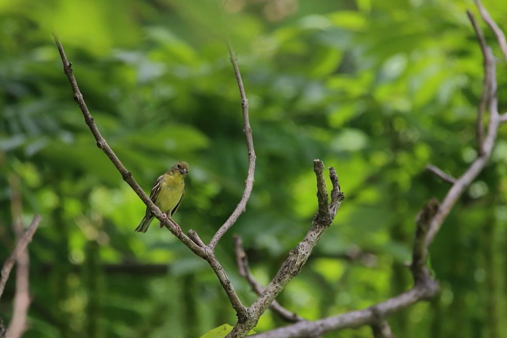 鳥の成木①【ノジコ・ウグイス・サンコウチョウ】_b0113228_7105355.jpg