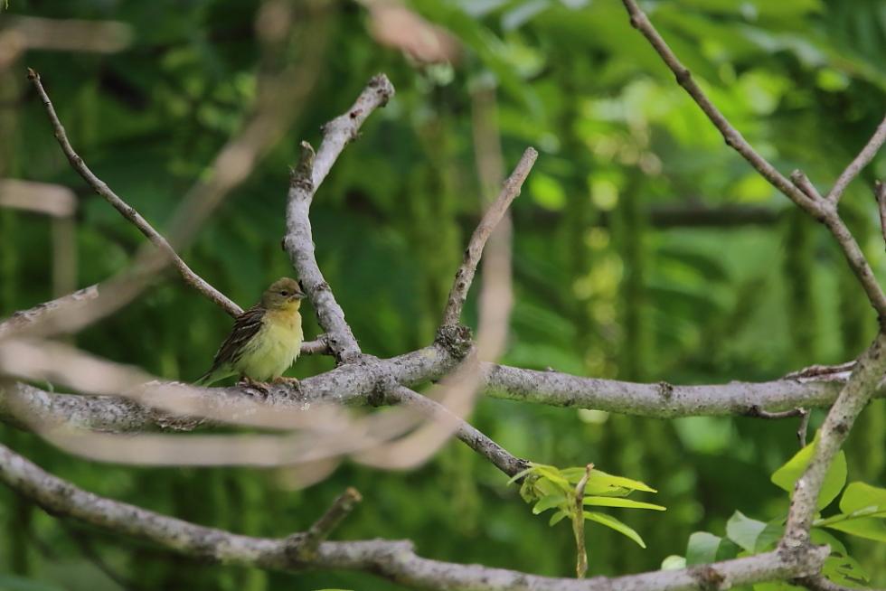 鳥の成木①【ノジコ・ウグイス・サンコウチョウ】_b0113228_7112424.jpg