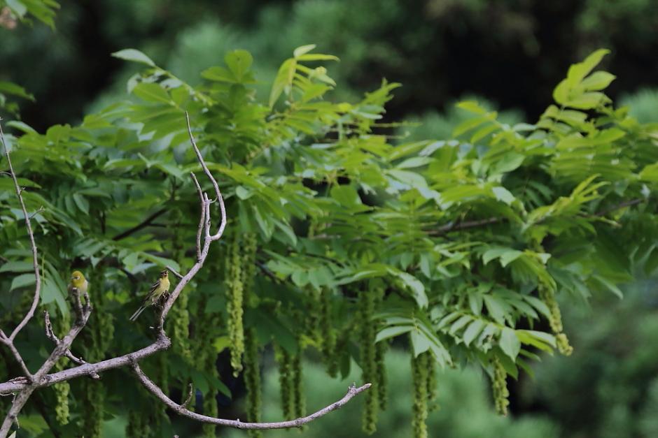 鳥の成木①【ノジコ・ウグイス・サンコウチョウ】_b0113228_7113833.jpg