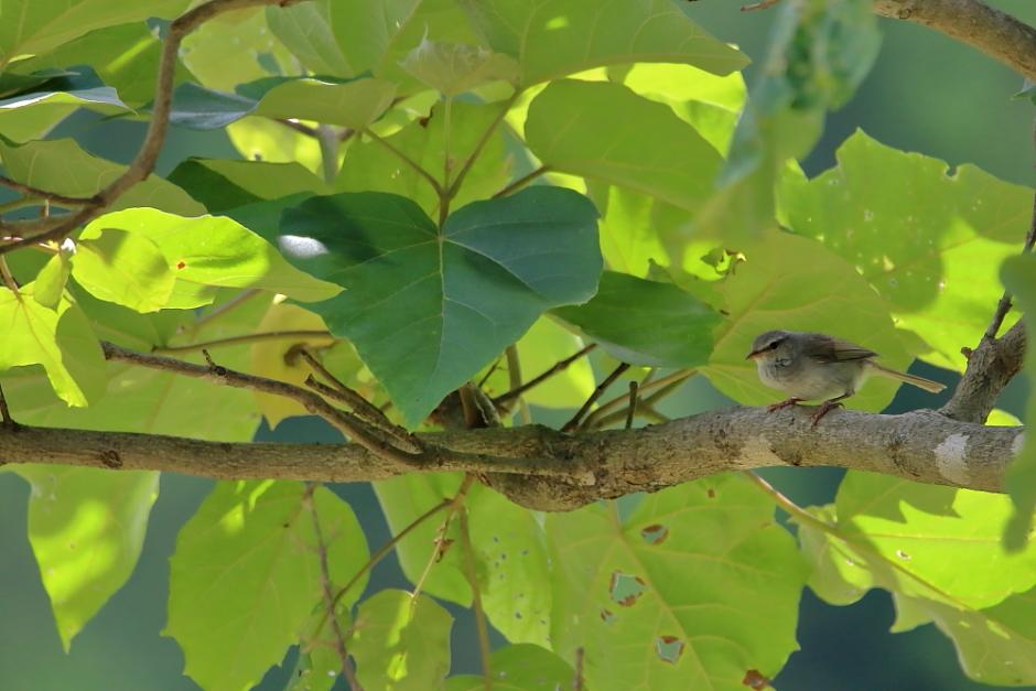 鳥の成木①【ノジコ・ウグイス・サンコウチョウ】_b0113228_725432.jpg