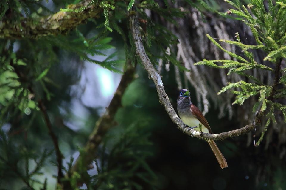 鳥の成木①【ノジコ・ウグイス・サンコウチョウ】_b0113228_7341535.jpg