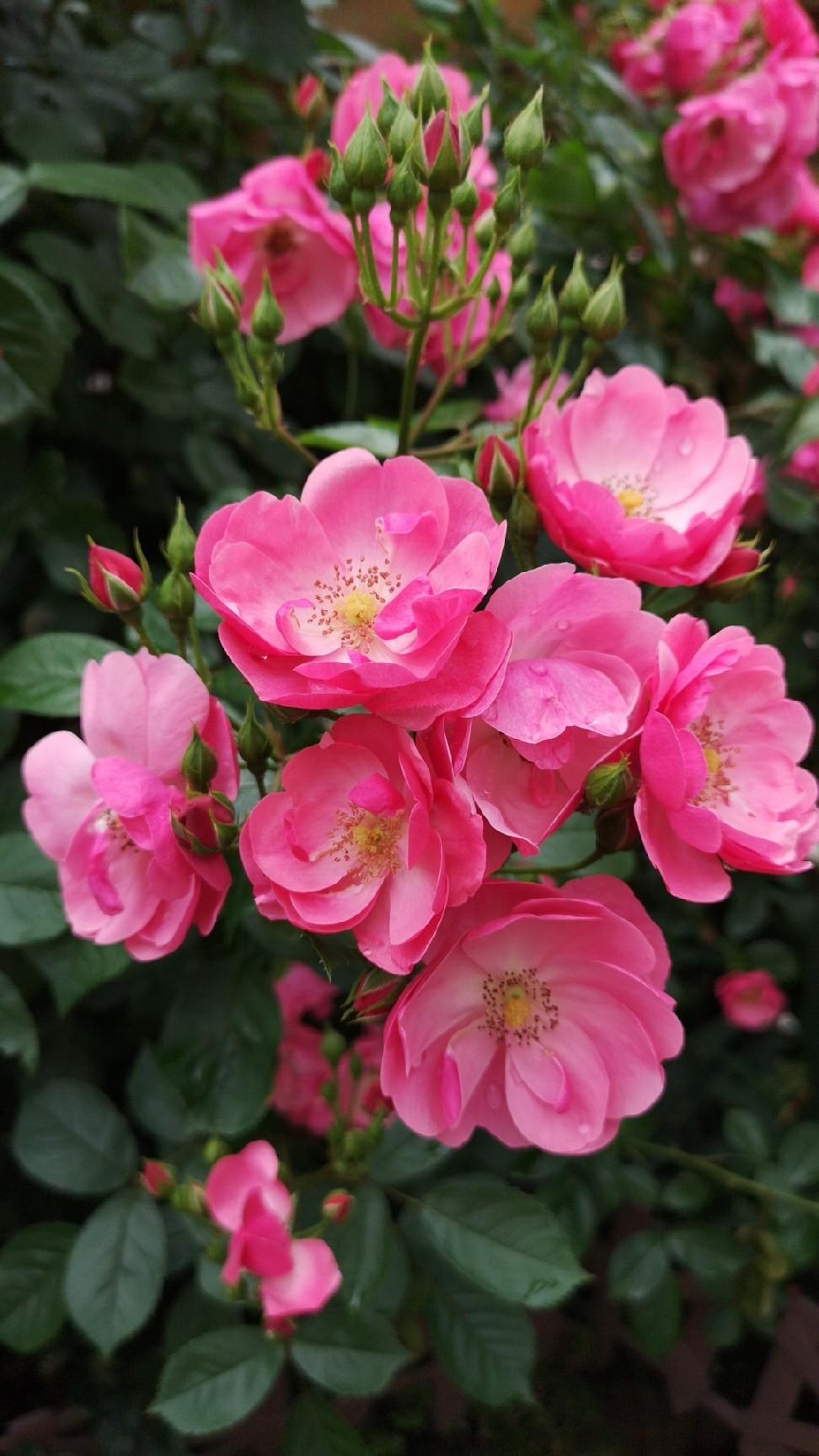 庭の薔薇の香を楽しむゆず隊長_d0211229_23470707.jpg