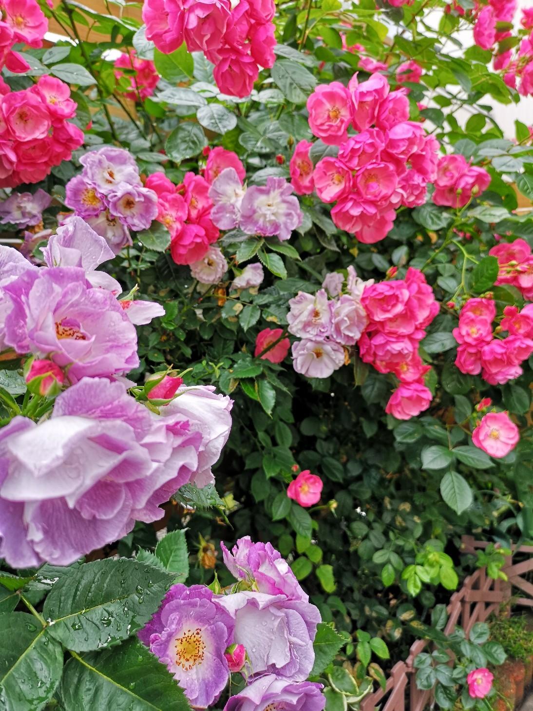 庭の薔薇の香を楽しむゆず隊長_d0211229_23470729.jpg