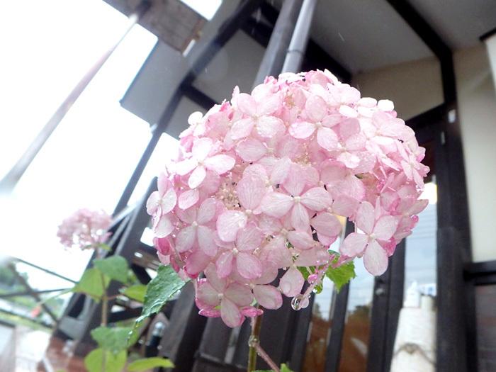 ピンクが咲いた_c0120834_11540378.jpg