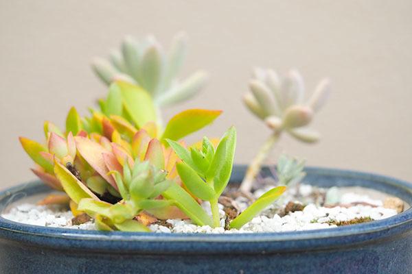 多肉植物の寄せ植えの手入れ_e0022047_22102859.jpg