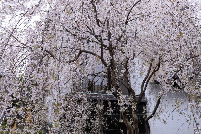 2020桜咲く京都 御幸桜咲く六角堂_f0155048_23551018.jpg