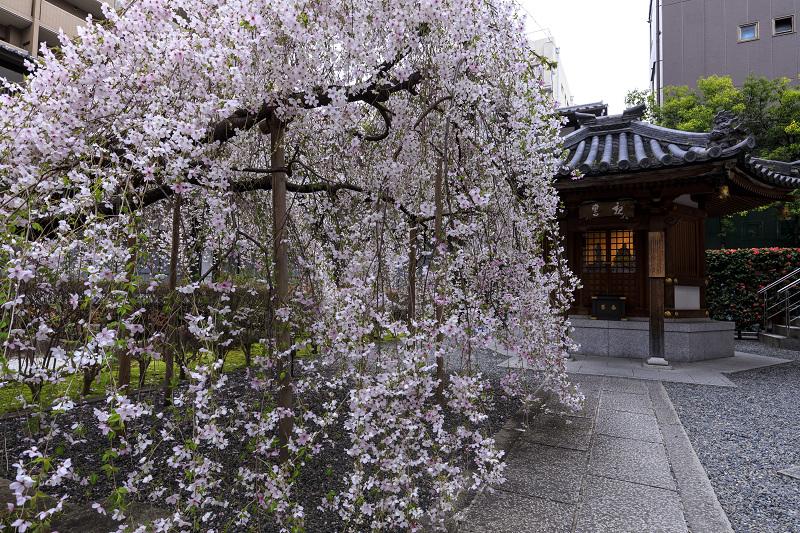 2020桜咲く京都 御幸桜咲く六角堂_f0155048_23553825.jpg