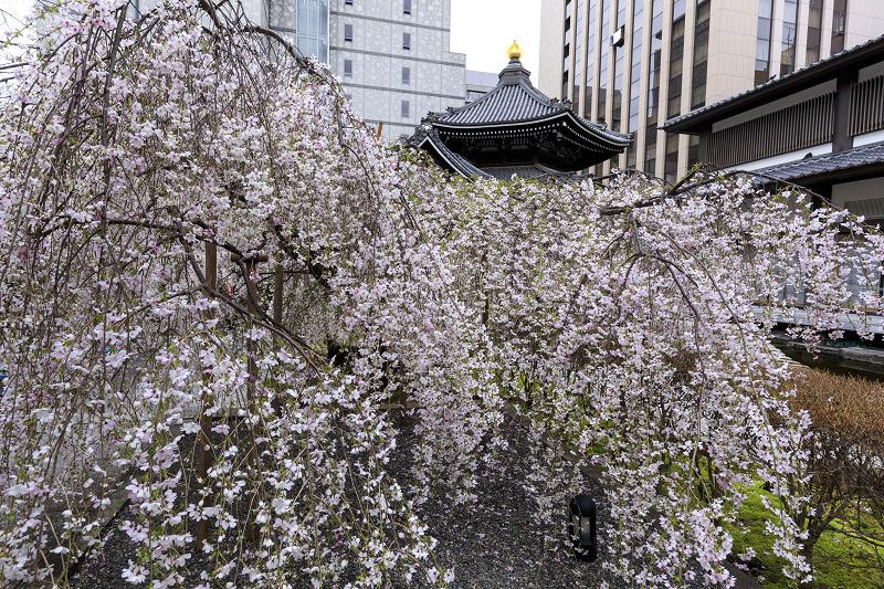 2020桜咲く京都 御幸桜咲く六角堂_f0155048_2356337.jpg