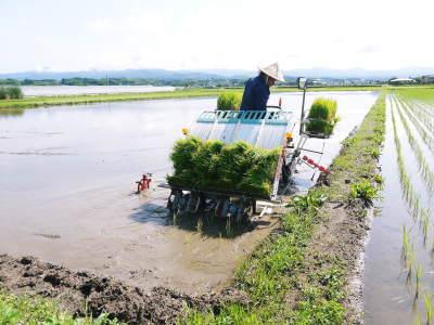 砂田のこだわりれんげ米 田植えの様子(2020) 前編:今年も変わらずれんげを有機肥料にした田んぼです_a0254656_17285361.jpg