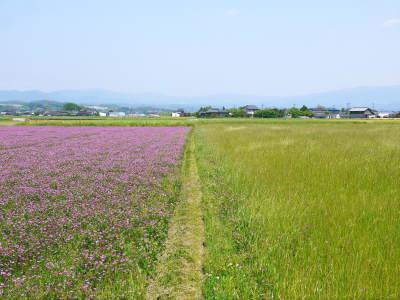 砂田のこだわりれんげ米 田植えの様子(2020) 前編:今年も変わらずれんげを有機肥料にした田んぼです_a0254656_17371321.jpg