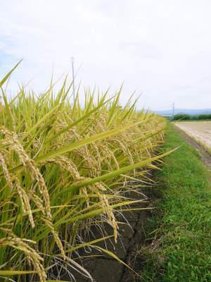砂田のこだわりれんげ米 田植えの様子(2020) 前編:今年も変わらずれんげを有機肥料にした田んぼです_a0254656_18162525.jpg