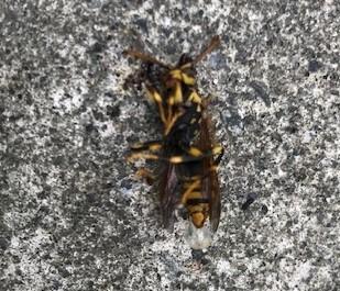 ガレージのアシナガバチの巣、慎重に駆除6・29_c0014967_13383766.jpg