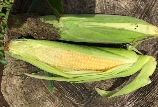 トウモロコシ初収穫、サトイモ追肥・土寄せ6・29~30_c0014967_14094580.jpg
