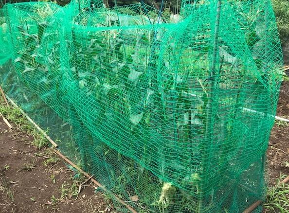 トウモロコシ初収穫、サトイモ追肥・土寄せ6・29~30_c0014967_14101870.jpg