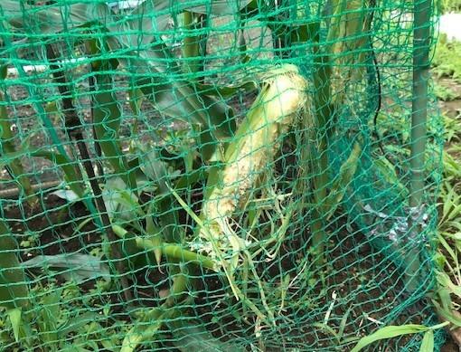 トウモロコシ初収穫、サトイモ追肥・土寄せ6・29~30_c0014967_14104096.jpg