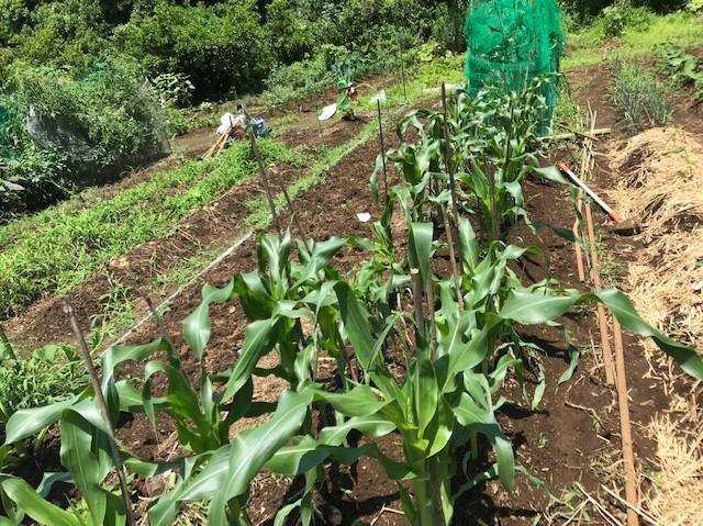 トウモロコシ初収穫、サトイモ追肥・土寄せ6・29~30_c0014967_14113415.jpg